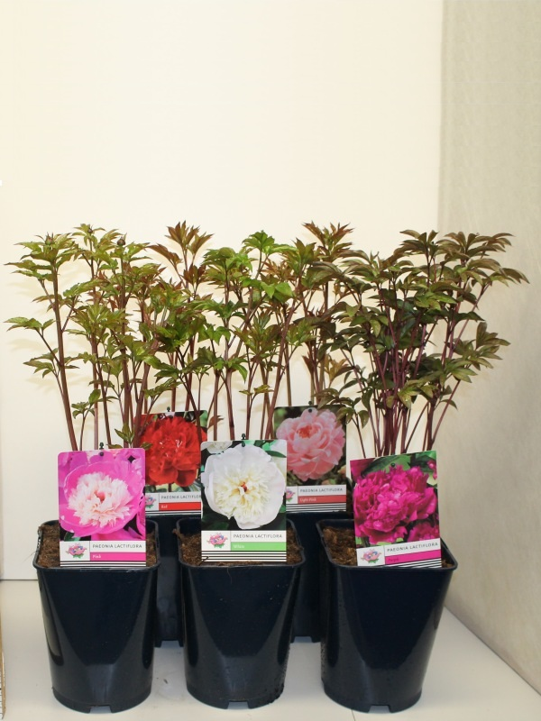 Paeonia-lactiflora-in-colours-19cm-(3ltr)