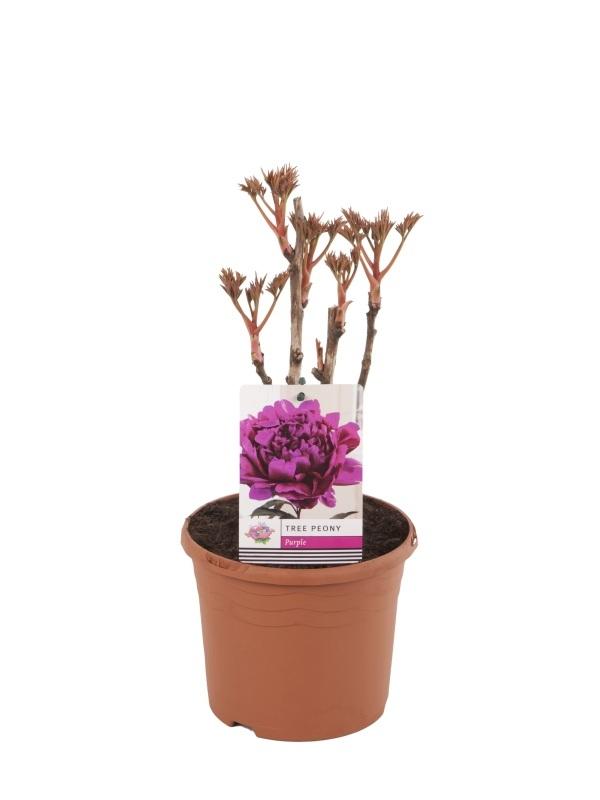 Paeonia suffruticosa in colours 19cm. (3ltr.)