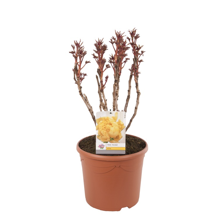 Paeonia suffruticosa in colours 32cm. (12ltr.)