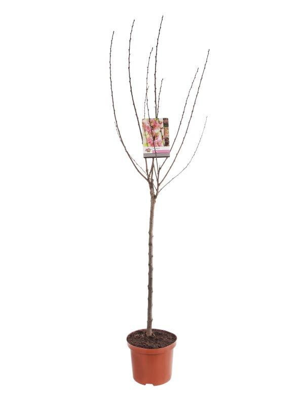 Prunus triloba 23cm. (5ltr.)
