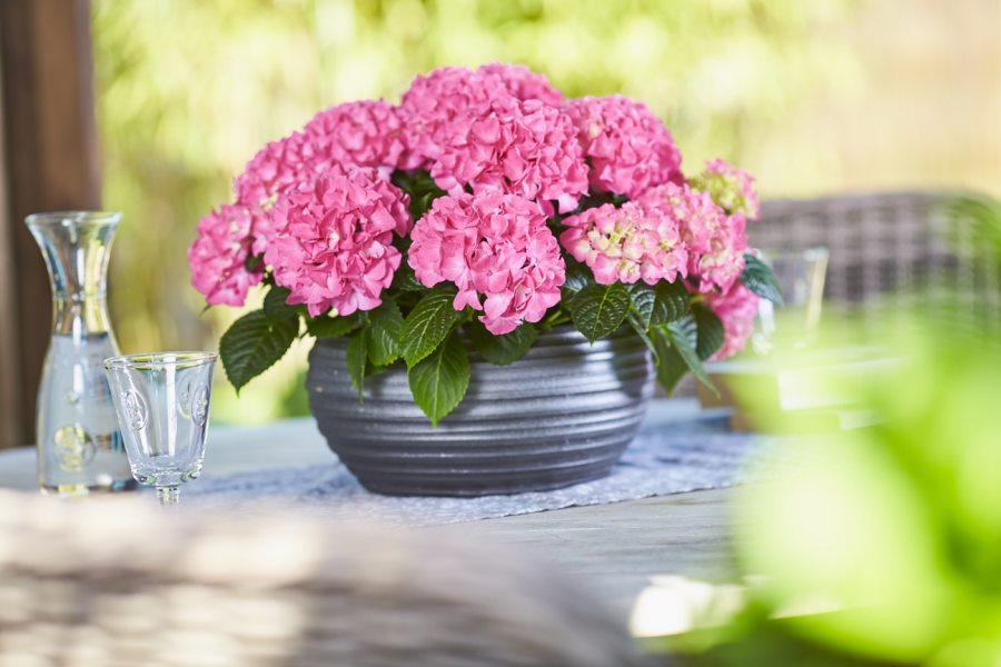 Hydrangea macr. Colour Your Table®