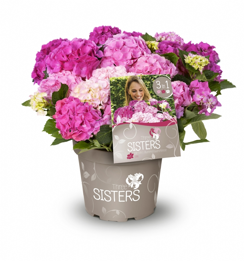Hydrangea macr. Three Sisters®
