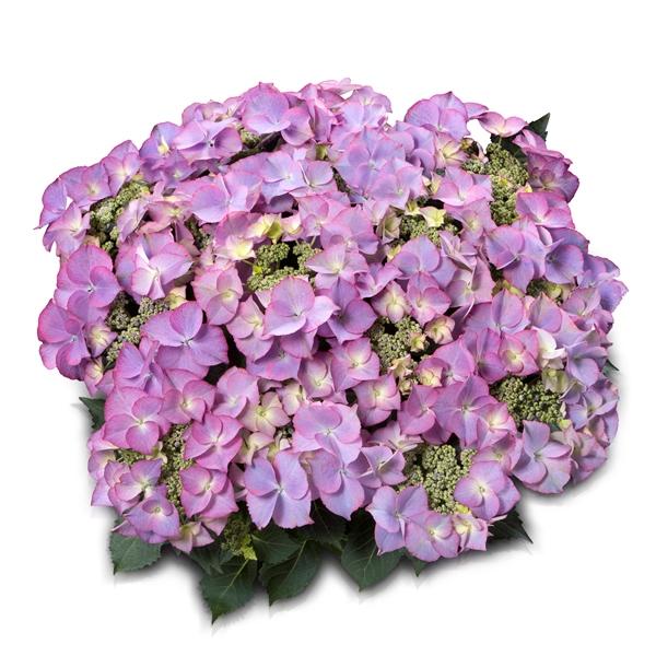 Hydrangea teller Tiffany® Blue P23 / 5ltr.