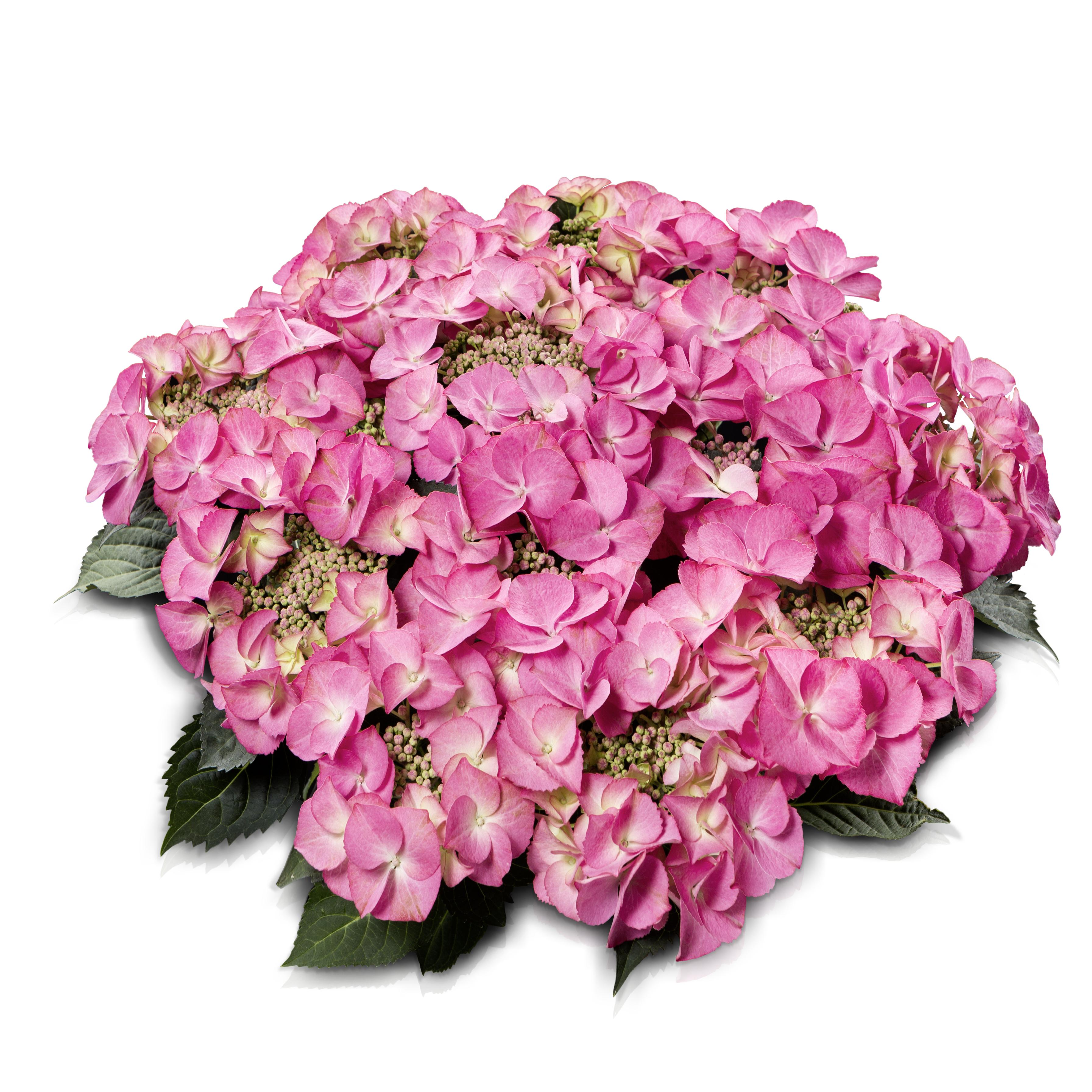 Hydrangea teller Tiffany® Pink P23 / 5ltr.