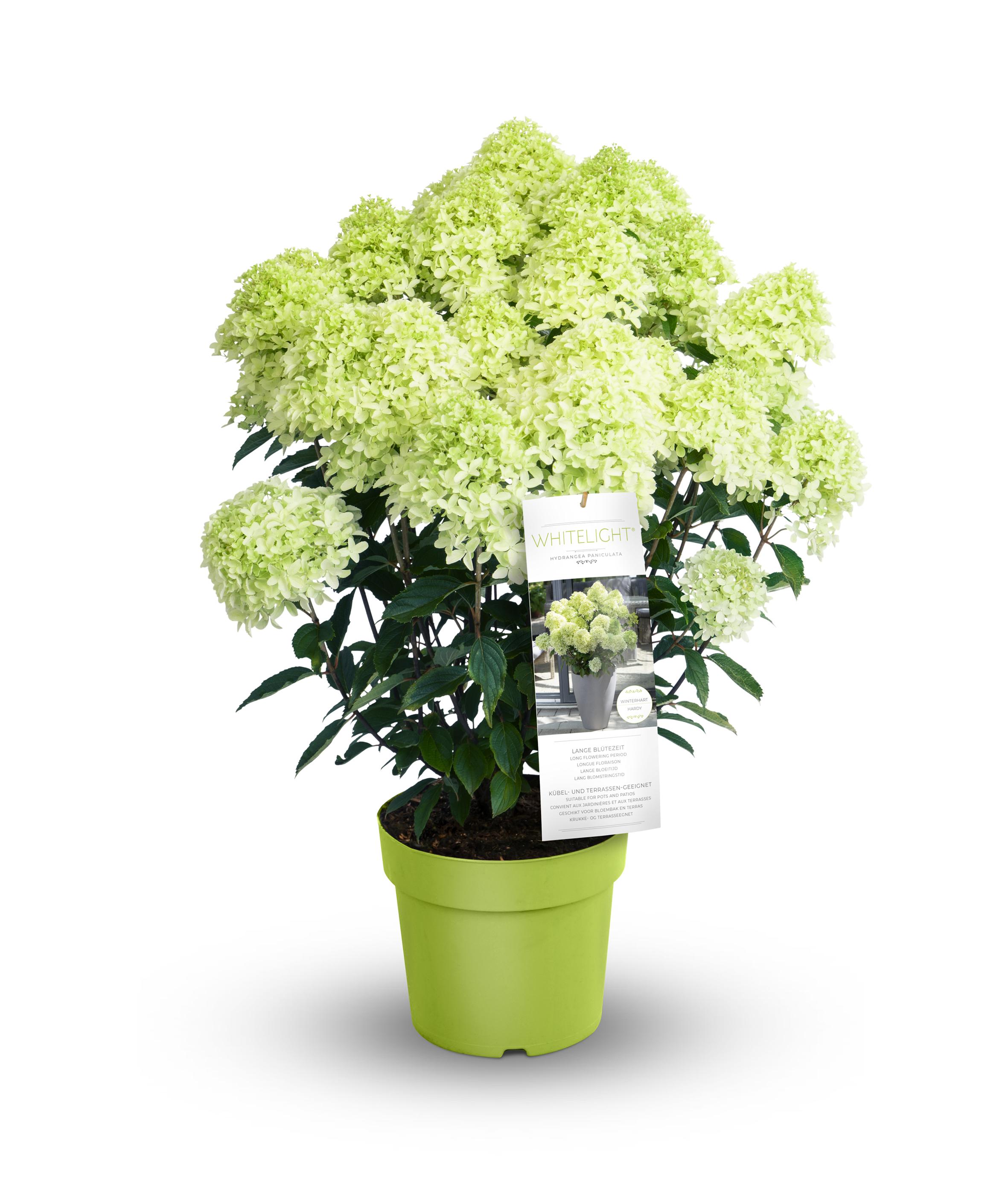 Hydrangea Pan. Whitelight®