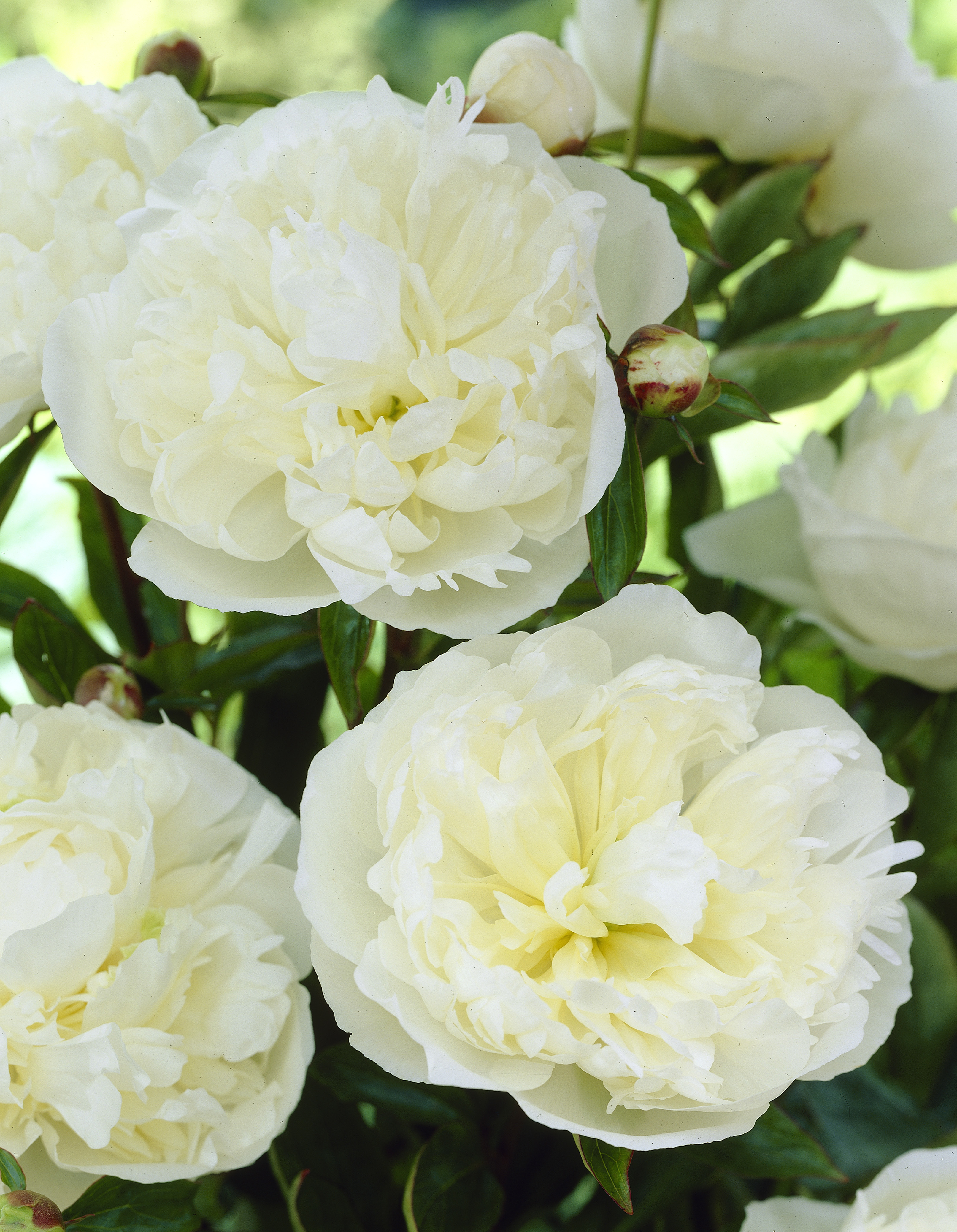 Paeonia lactiflora Fabulous Flowers®