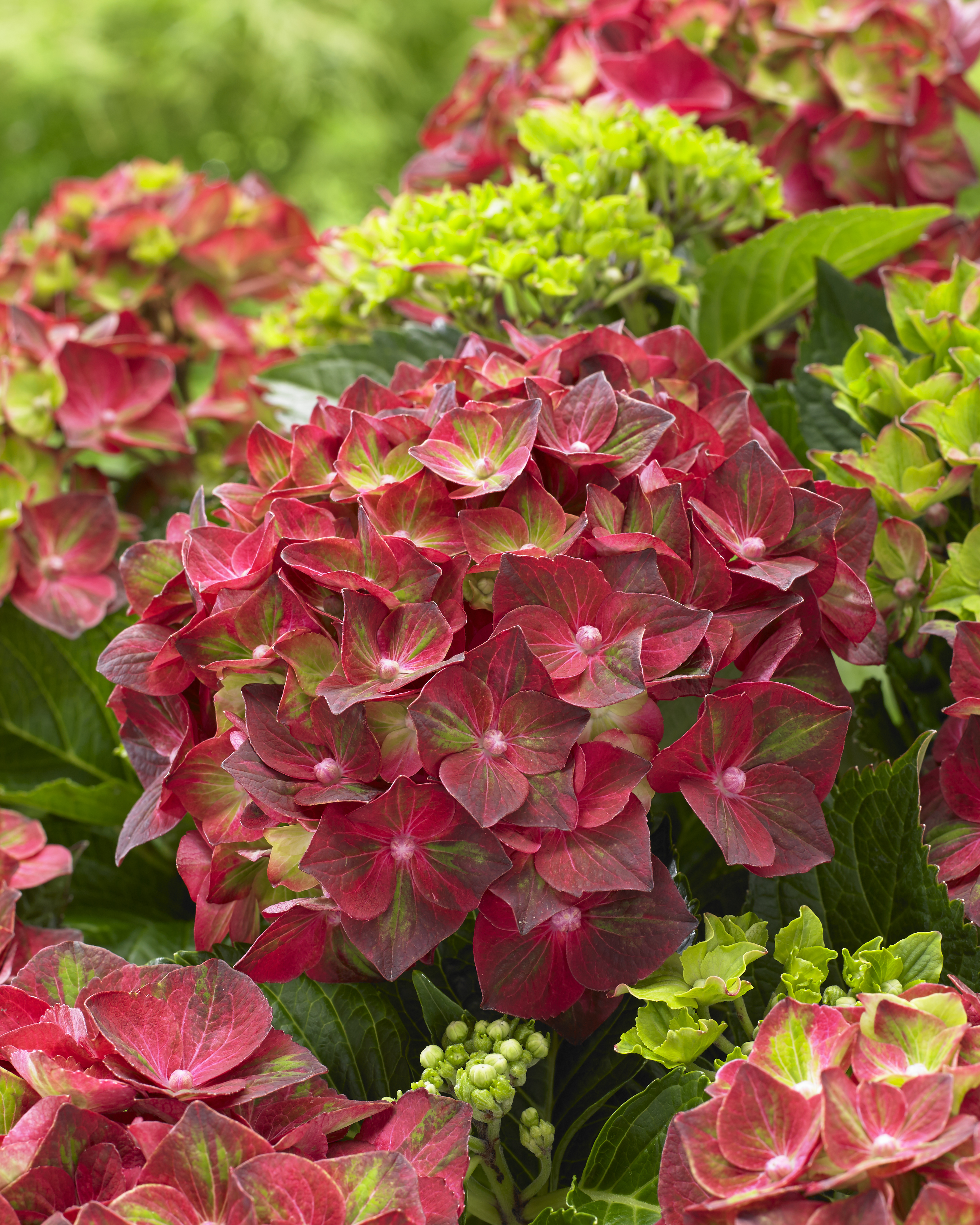 Hydrangea-macr-Magical®-Ruby-Tuesday®-5ltr