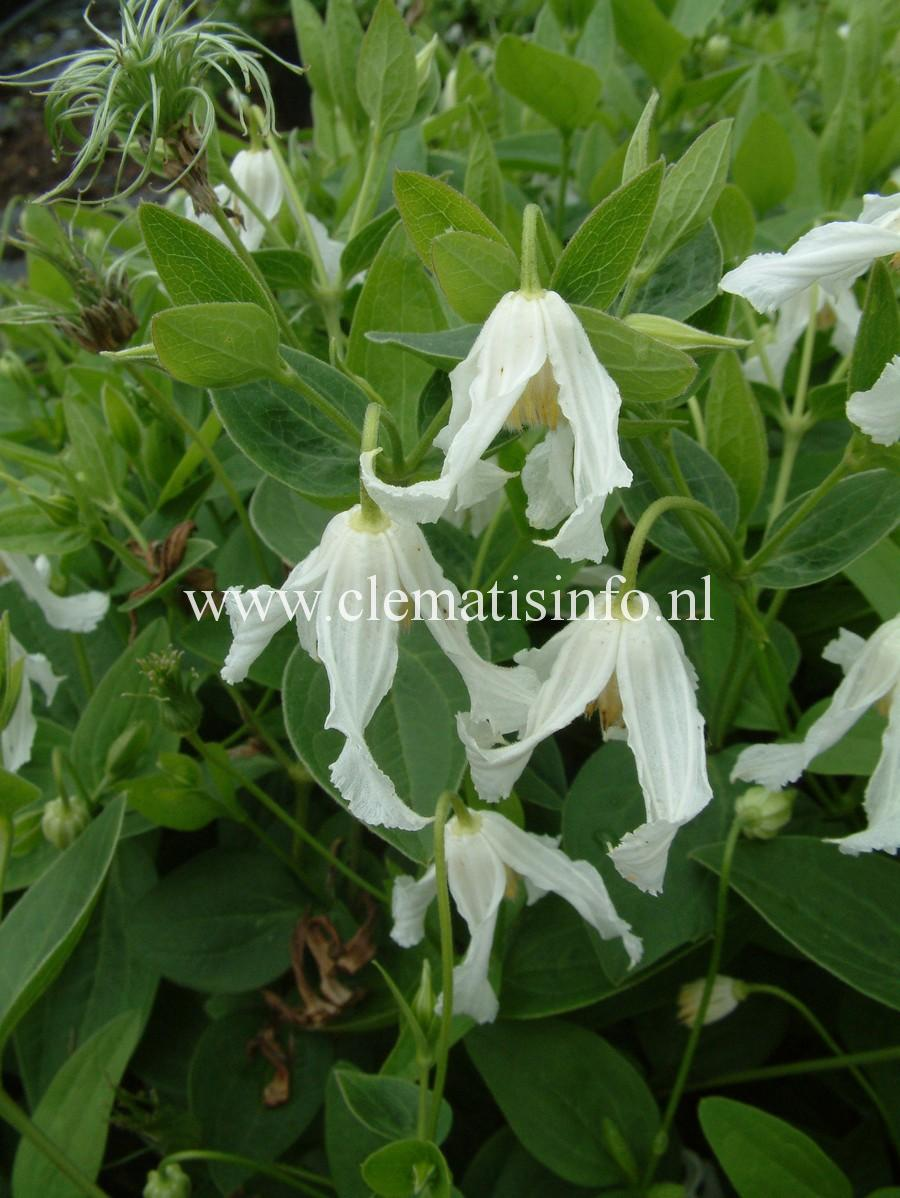 integrifolia-''Alba''