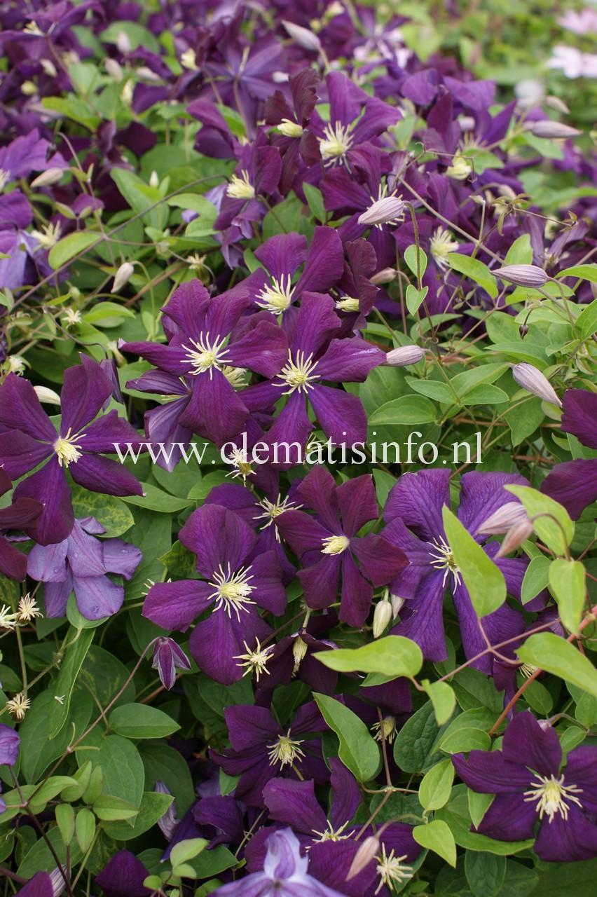 'Etoile-Violette'