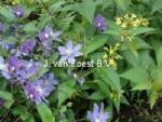 Clematis 'Arabella' en Diervilla sessilifolia