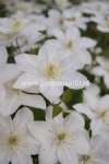Clematis BABY STAR
