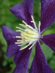 Clematis 'Blue Belle'