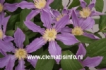 Clematis AMAZING®™ LONDON