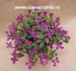 Clematis AMAZING®™ INSPIRATION