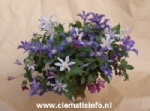 Clematis AMAZING®™ mix