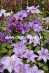 Clematis ESTHER