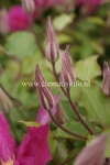 Clematis FREEDOM