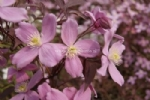 Clematis 'Fragrant Spring'