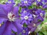 Clematis HAPPY BIRTHDAY