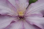 Clematis MORNING STAR