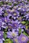 Clematis 'Multi Blue'