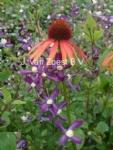 Clematis PRETTY IN BLUE en Echinacea 'Art's Pride
