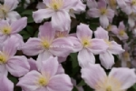 Clematis 'Pink Perfection'