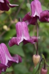 Clematis QUEEN MOTHER