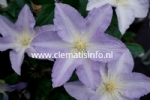 Clematis SPOTLIGHT