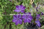 Clematis SUPER NIGHT