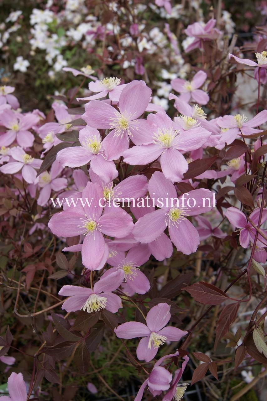 'Fragrant-Spring'