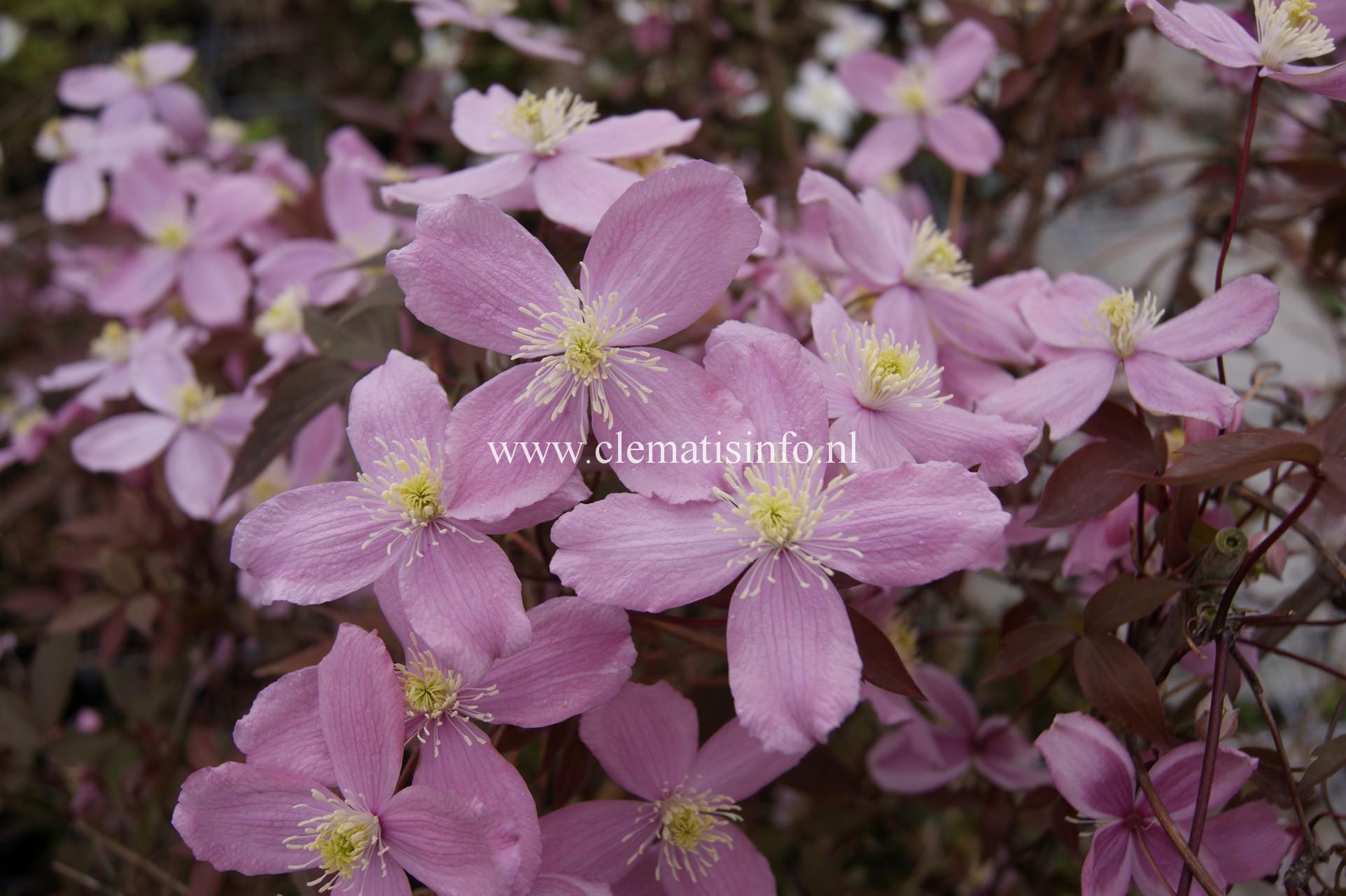 ''Fragrant Spring''