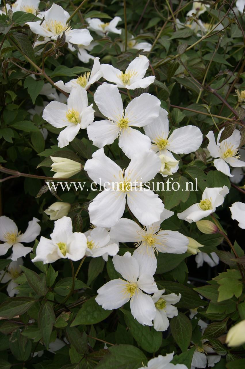 montana ''Grandiflora''