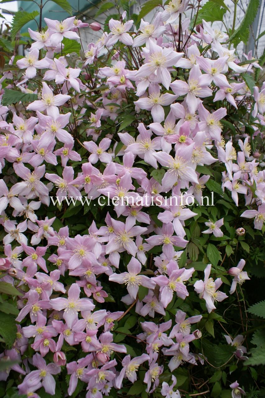 clematis winterhart clematis florida sieboldii online. Black Bedroom Furniture Sets. Home Design Ideas