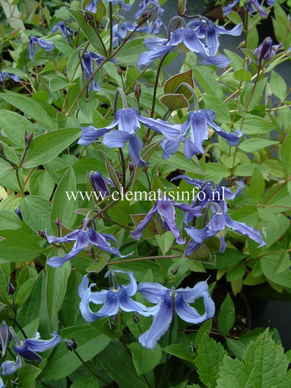 ''Ozawa Blue''
