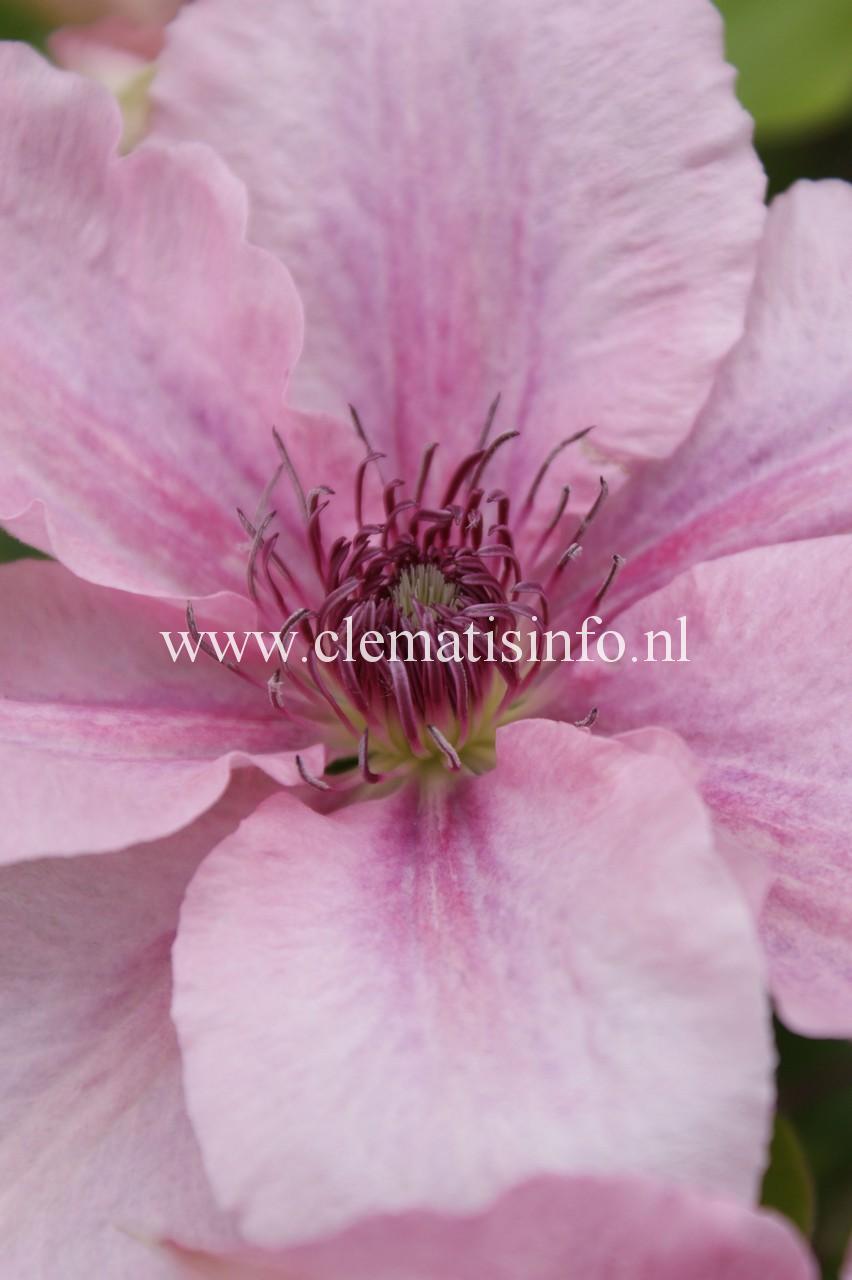 ''Pink Fantasy''