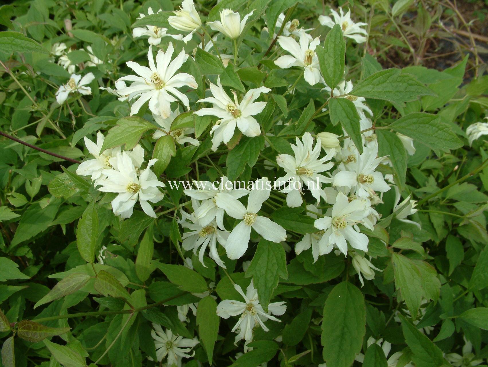 montana ''Pleniflora''