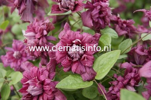 ''Purpurea Plena Elegans''