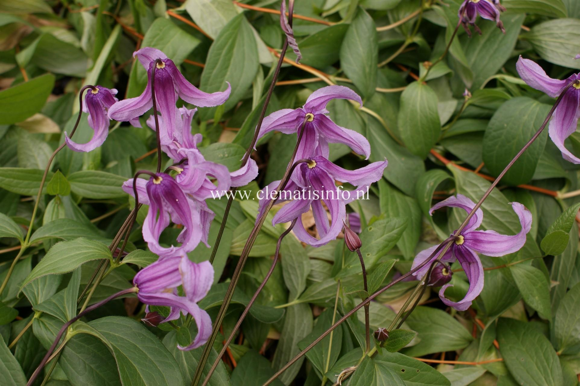 integrifolia ''Rosea''