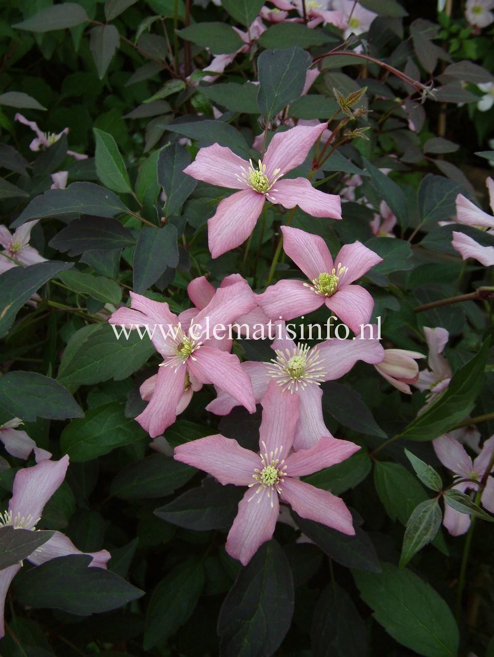 ''Warwickshire Rose''