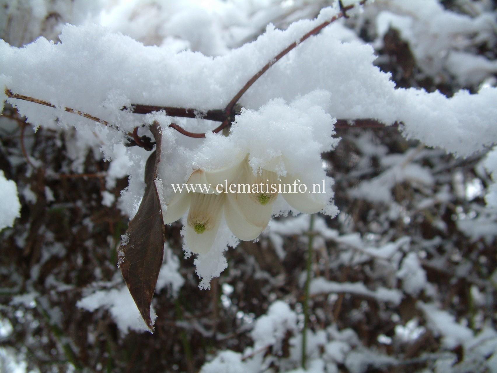 ''Winter Beauty''