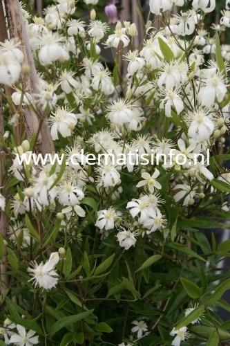 angustifolia