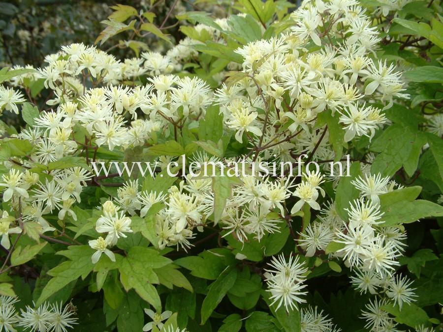 apiifolia