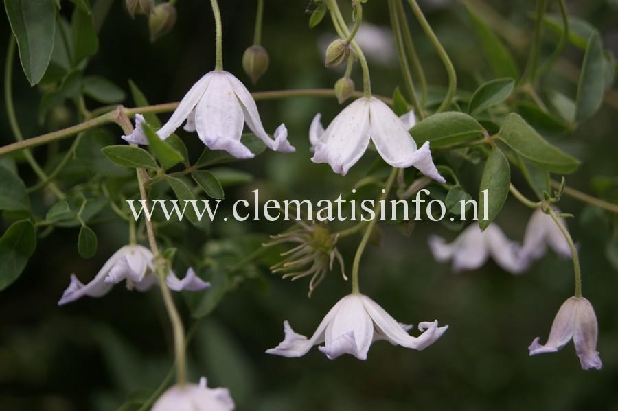 campaniflora