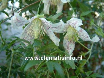 cirrhosa var. balearica