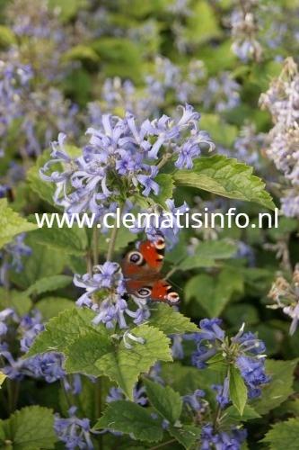 heracleifolia