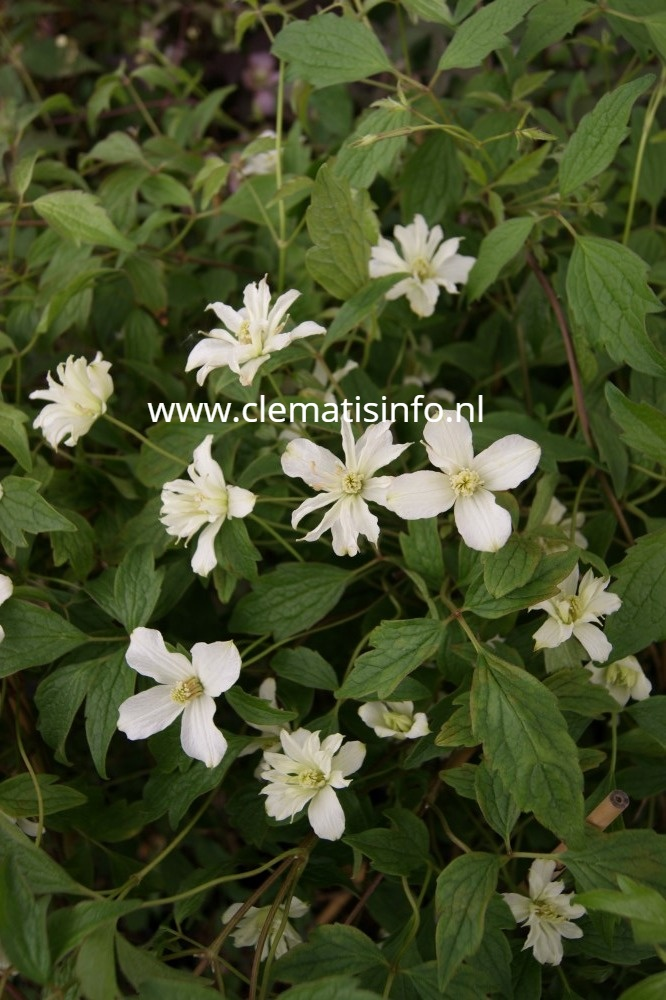 ''Pleniflora''