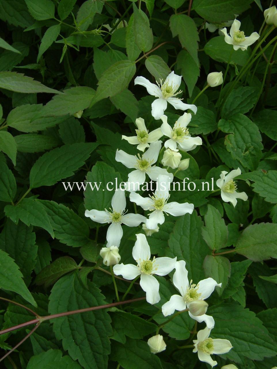 montana var. wilsonii