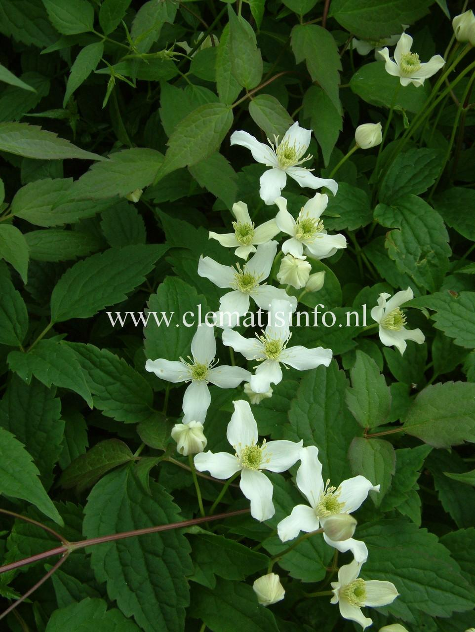 montana-var-wilsonii