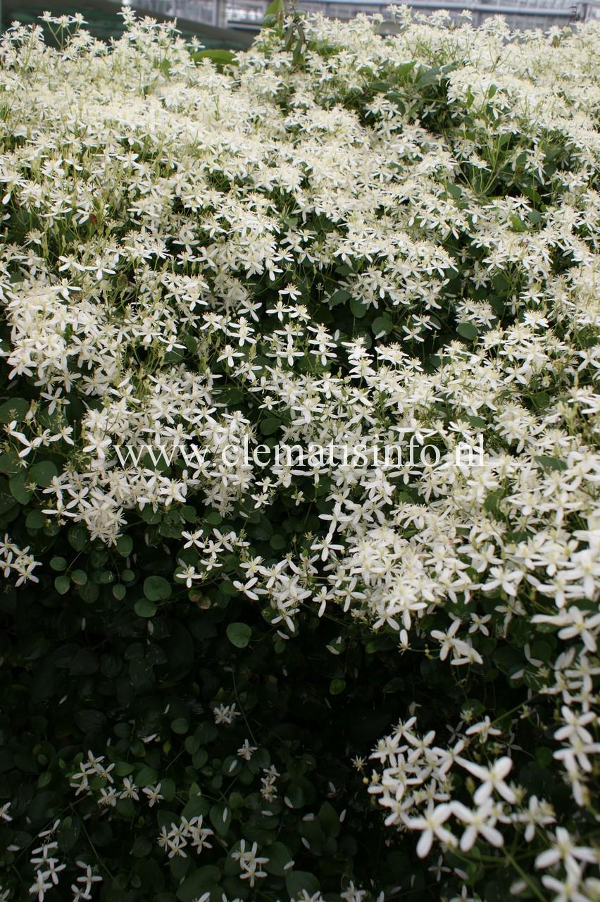 terniflora